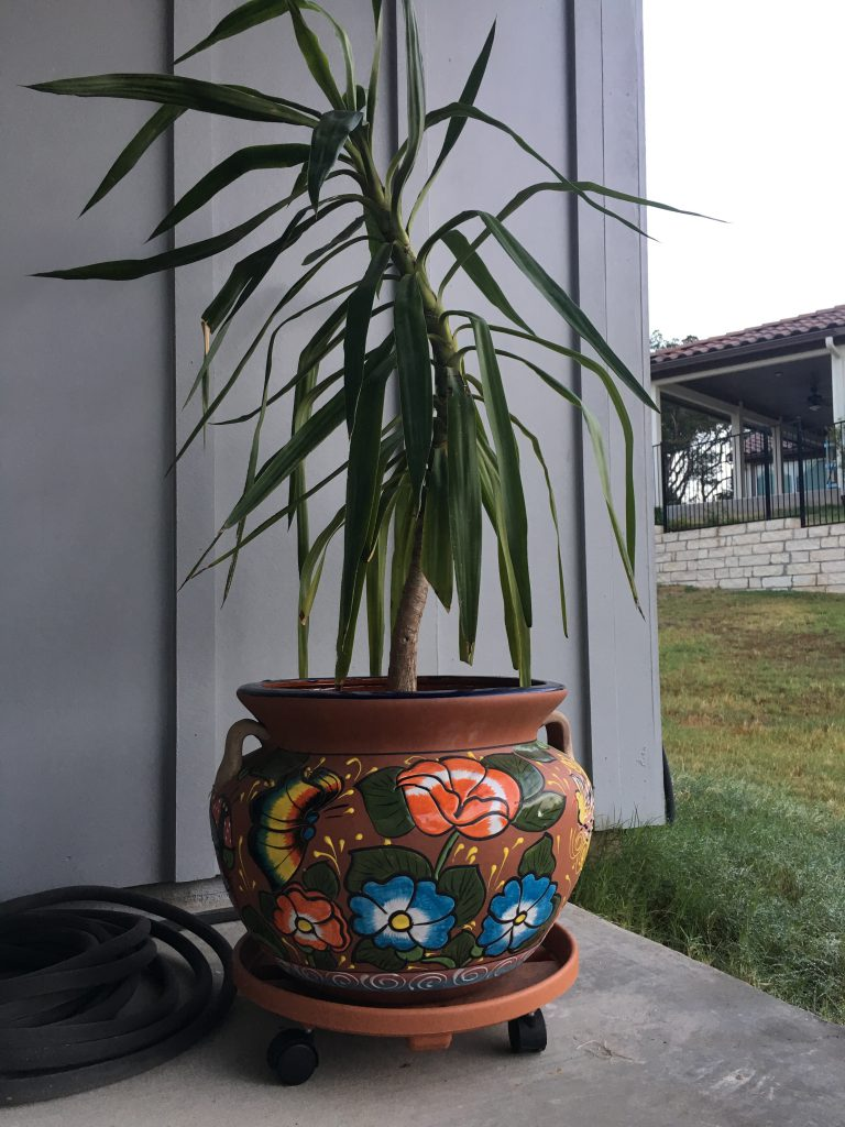 Image: decraena in decorated pot.